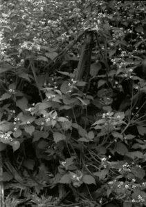 Fiori d'ortica in autunno, Kiev, Jupiter 11